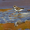 A Semipalmated Plover skipping along the beach - Doyles Cove, PEI NP