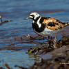 Ruddy Turnstone - Doyes Cove, PEI Nat. Pk.