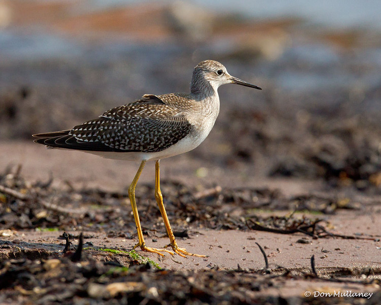 A Lesser Yellowlegs looking like a giant among the SP Sandpipers  - Doyles Cove, PEI NP