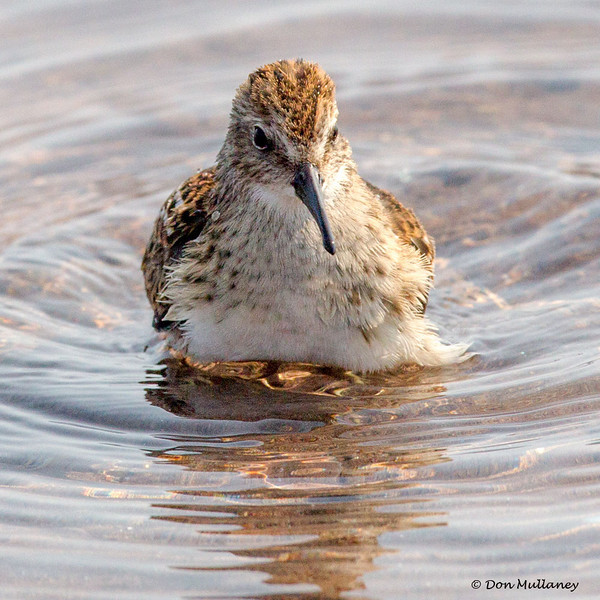 Least Sandpiper bathing - Doyles Cove, PEI NP