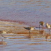 Sandpipers looking for a meal in the receding water.  - Doyles Cove, PEI NP