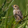 Nelson's Sparrow - Risser's Beach, NS