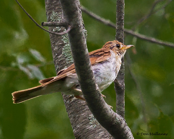 A Veery, a first for me - Mahone Bay, NS