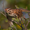 Song Sparrow in flight - Blue Rocks, NS