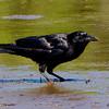 American Crow - Risser's Beach, NS