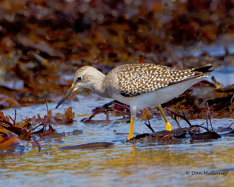 Lesser Yellowlegs.  - Doyes Cove, PEI Nat. Pk.