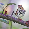 Ovenbird - Mahone Bay, NS