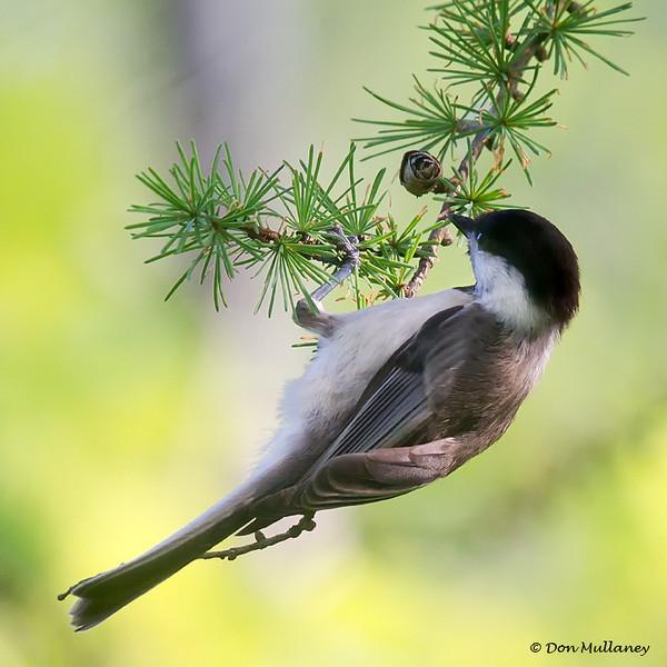 Chickadee feeding - Mahone Bay, NS