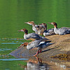 Common Mergansers - Mahone Bay, NS