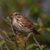 A Song Sparrow watching the event - Blue Rocks, NS