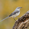 Northern Mockingbird - Santa Clara Ranch