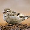 House Sparrow - Santa Clara Ranch