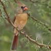 Female Northern Cardinal - Santa Clara Ranch