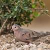 Common Ground Dove - Santa Clara Ranch