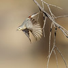 """Lucy's Warbler in an """"artsy"""" setting - Catalina State Park, AZ"""