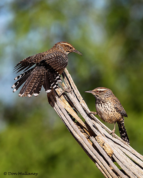 A pair of Cactus Wrens - Green Valley, AZ