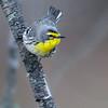 Grace's Warbler - Mt. Lemmon, AZ