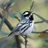 Black-throated Gray Warbler - Catalina State Park, AZ