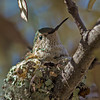 A female Rufous Hummingbird sitting in her nest - Mt. Lemmon, AZ