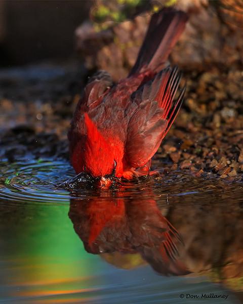 Northern Cardinal bathing - Green Valley, AZ