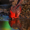 Northern Cardinal bathing - Green Valley, AZ