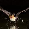 Pallid Bat makes a splash - Green Valley, AZ