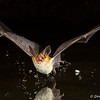 Pallid Bat makes a splash - Green Valley, AZ