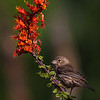 Female House Finch on Red Flower - Green Valley, AZ
