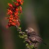 Female House Finch on Red Flower - Green Valley, AZ