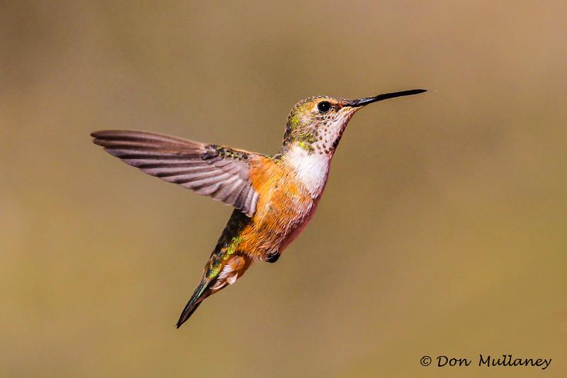 A Rufous Hummingbird female in flight - Ash Canyon, AZ