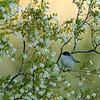 Black-tailed Gnatcatcher - Near Tucson, AZ
