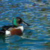Northern Shoveler, male - Public Park in Tucson, AZ
