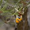 Olive Warbler - Mt. Lemmon, AZ
