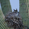 Great Horned Owl nest with chicks - Just outside Tucson, AZ