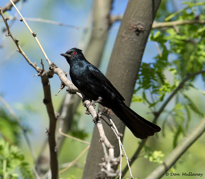 Phainopepla, a large black bird with white crescents on it's wings - Park near Tucson