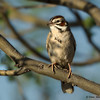 ALark Sparrow - Park near Tucson, AZ