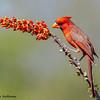 Male Northern Cardinal - Green Valley, AZ