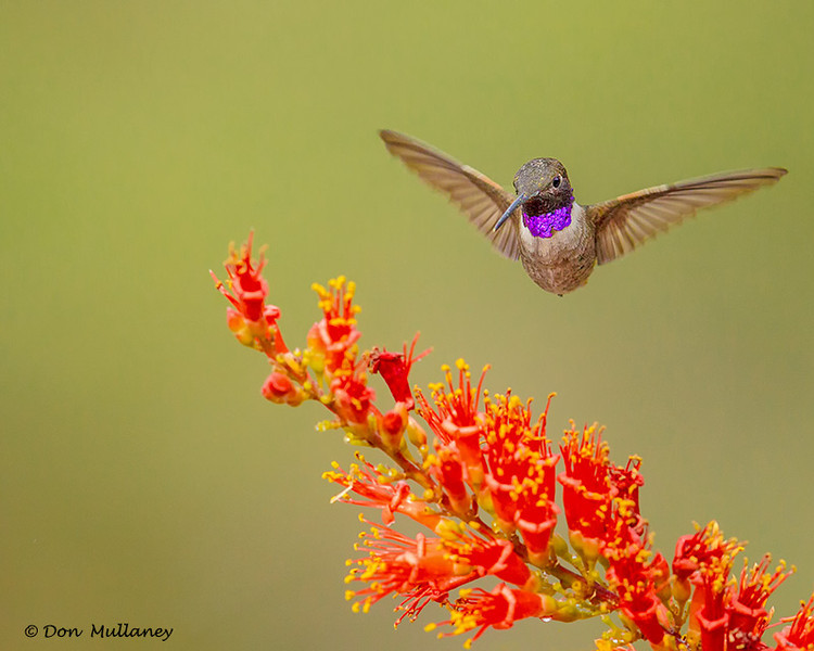 A male Black-chinned Hummingbird - Green Valley, AZ