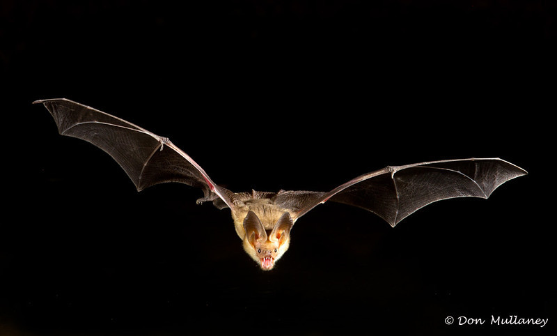 A Pallid Bat coming in for a drink of water - Green Valley, AZ