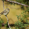 Hutton's Vireo - Mt. Lemmon, AZ