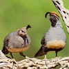 A pair of Gambel's Quail - Green Valley, AZ