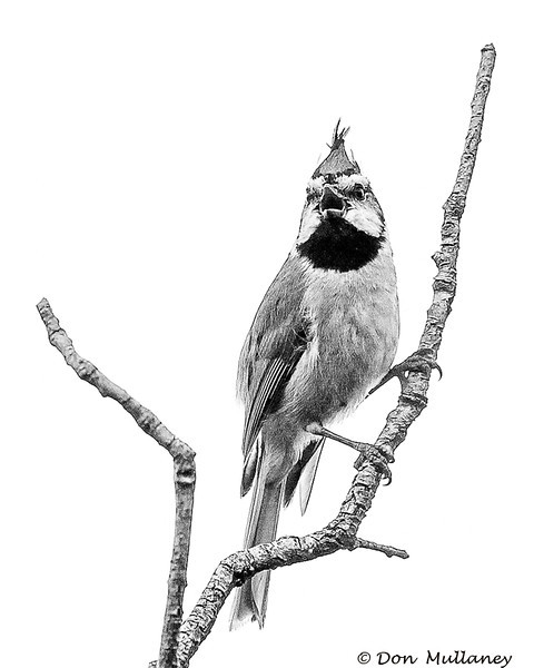 A Bridled Titmouse in Black and White - Beatty's Canyon, AZ