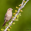 Female House Finch - Green Valley, AZ
