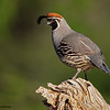 Male Gambel's Quail - Green Valley, AZ