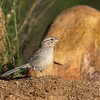 A Rufous-winged Sparrow, a bird that is only seen in southern AZ. - Green Valley,AZ