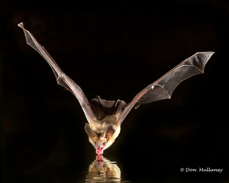Pallid Bat scooping up some water - Green Valley, AZ