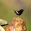 Painted Redstart - Green Valley, AZ
