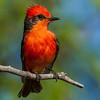 Vermilion Flycatcher - Public park near Tucson, AZ