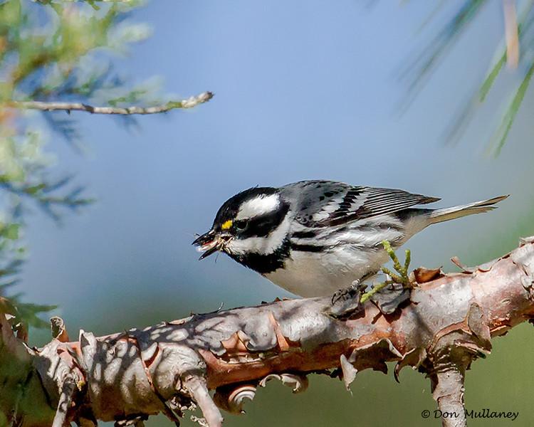 A Black-throated Gray Warbler having lunch - Mt. Lemmon, AZ