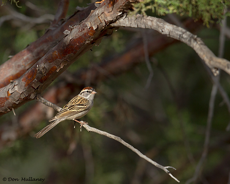 Chipping Sparrow - Green Valley, AZ